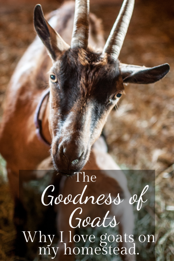 Goats can be a wonderful asset to any homesteaders livestock roster, and they have many uses and delights!  They are a sustainable living goldmine!